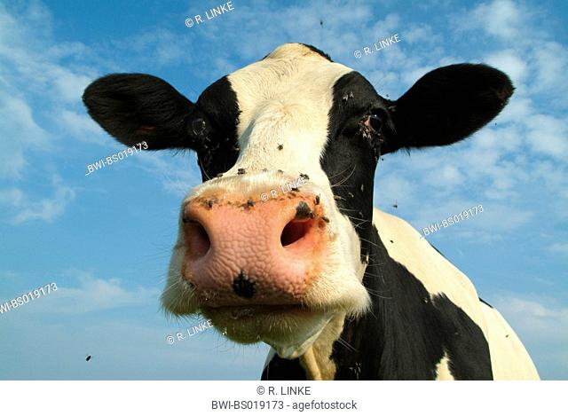 Holstein cow (Bos primigenius f. taurus), portrait