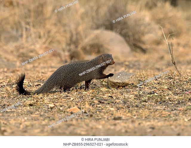 The image of Ruddy Mongoose ( Herpestes smithii) in Daroji Bear sanctuary, India