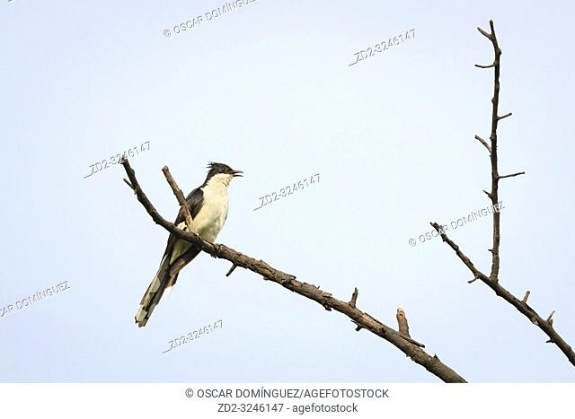 Jacobin Cuckoo (Clamator jacobinus) perched on tree. Keoladeo National Park. Bharatpur. Rajasthan. India