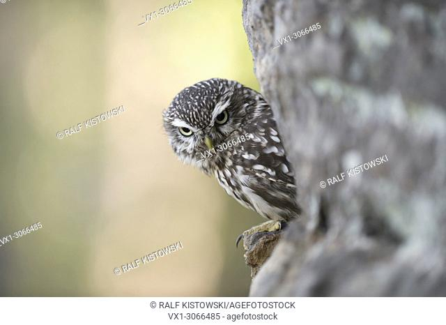Little Owl / Minervas Owl (Athene noctua) perched in a wall of rocks, half hidden, looks serious down to the ground, Germany, Europe
