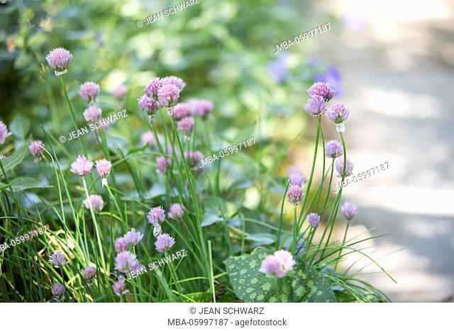 Blossoming chives in the garden