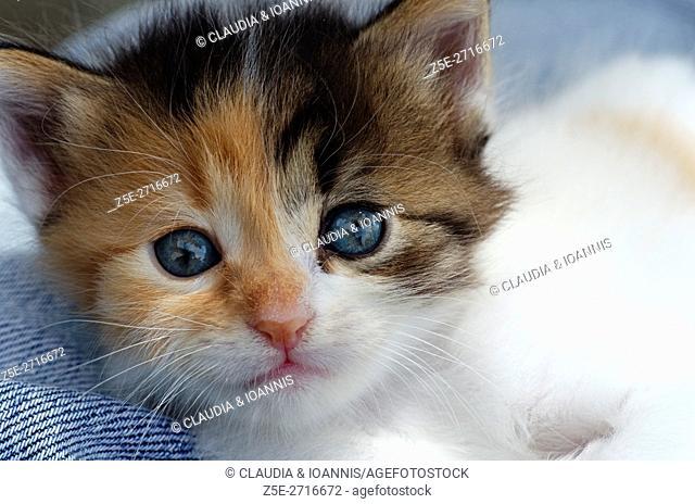 Portrait of a five weeks old calico kitten