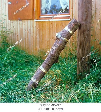 twig - inoculated with Shii-Take mushroom substrate