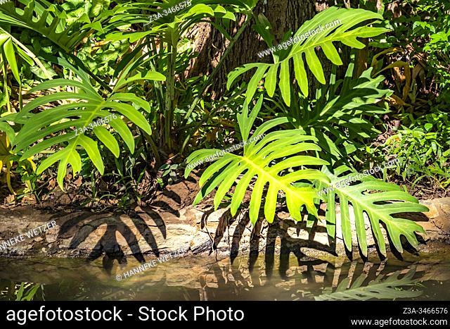 Tropical plants of Topes de Collantes, Trinidad, Republic of Cuba, Caribbean, Central America