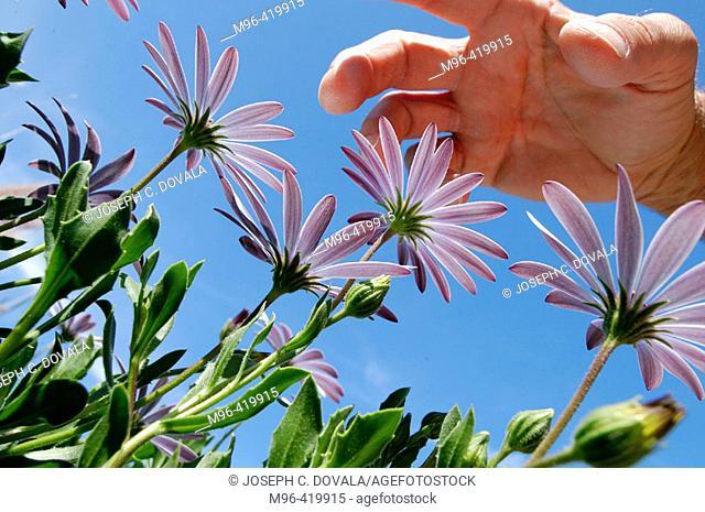 Hand over garden daisies