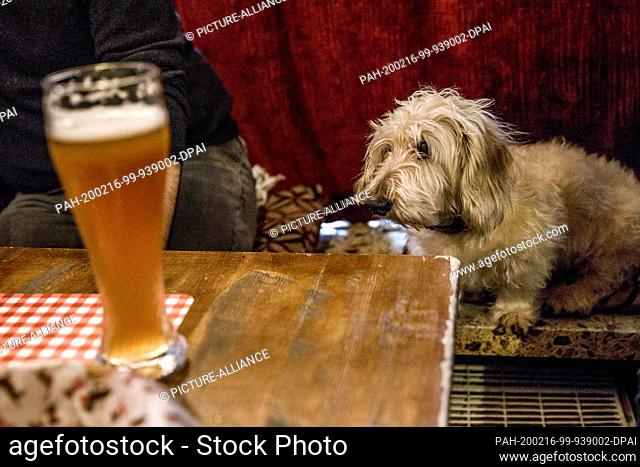 """16 February 2020, Berlin: A dachshund sits in front of a glass of beer in the guest room of the """"""""Posh Teckel Bar"""""""" during the big dachshund weekend"""