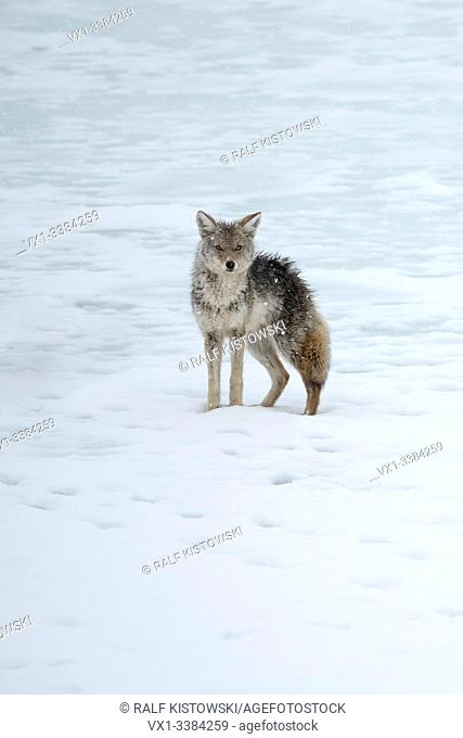 Coyote (Canis latrans) in winter, got soaked, wet to the skin, standing on melting snow, ice, at the bank of a lake, looks funny, Yellowstone area, USA