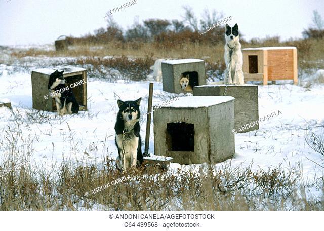 Huskies. Seward peninsula. Alaska. USA