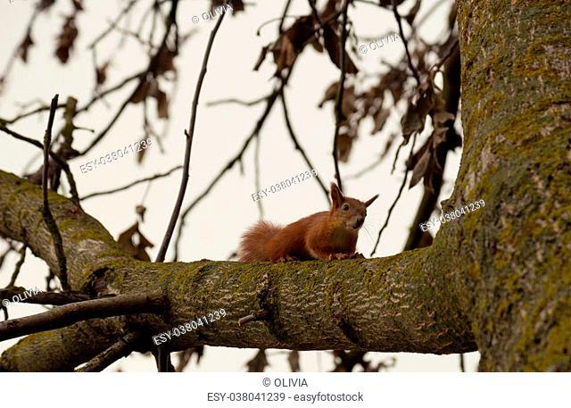 Squirrel on a walnut tree branch