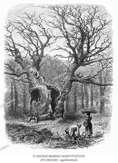 1870: Collecting firewood in front of William the Conquerers Oak in Windsor Great Park,. Windsor Castle, Berkshire, England