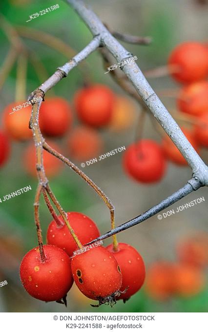 Hawthorn (Crataegus spp.) fruit, Manitoulin Island, Ontario, Canada