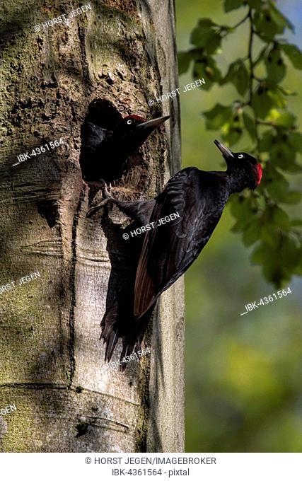 Black Woodpecker (Dryocopus martius) at nest with juvenile bird, Wittlich, Rhineland-Palatinate, Germany