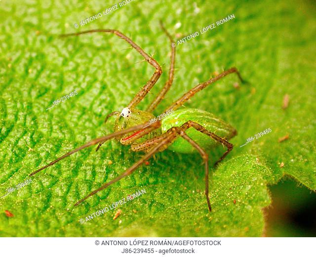 Spider (Micrommata viridescens)