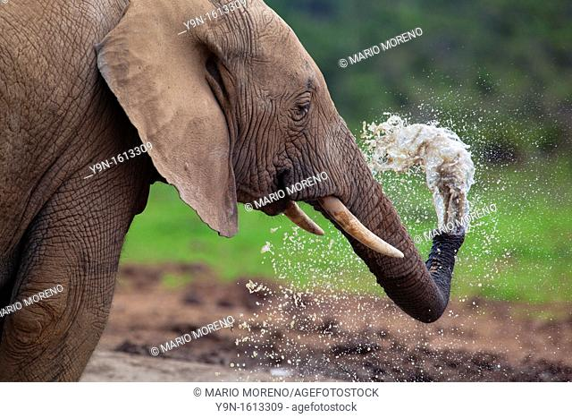 A young elephant Loxodonta Africana Sprays himself with water at Hapoor Dam in Addo Elephant National Park, South Africa