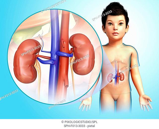 Kidneys of a child, illustration