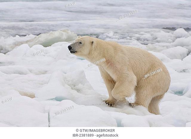 Female Polar bear (Ursus maritimus), Svalbard Archipelago, Barents Sea, Norway, Arctic