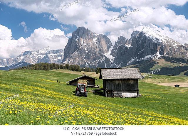 Alpe di Siusi/Seiser Alm, Dolomites, South Tyrol, Italy. Spring on the Alpe di Siusi with the peaks of Sassolungo/Langkofel and Sassopiatto / Plattkofel