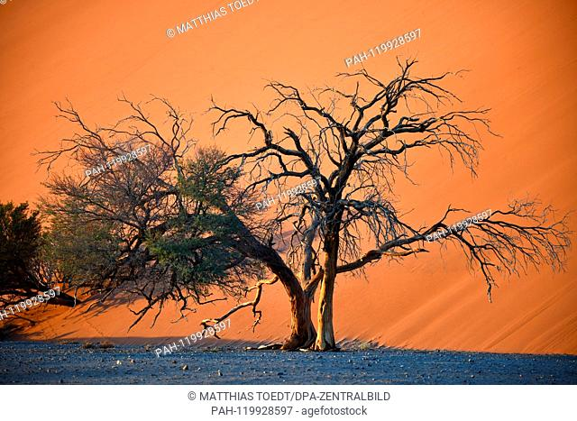 Acacia at the foot of a dune in Sossusvlei, taken on 01.03.2019. The Sossusvlei in the Namib-Naukluft National Park has been a UNESCO World Heritage Site since...