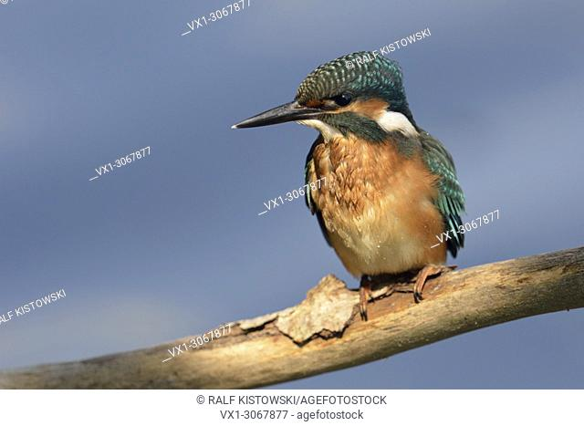 Attentive Common Kingfisher / Kingfisher (Alcedo atthis) in spotlight in front of clean nice blue background, wildlife, Germany, Europe