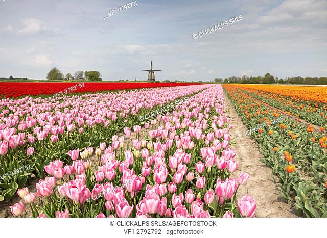 Multicolored tulip fields frame the windmill in spring Berkmeer Koggenland North Holland Netherlands Europe