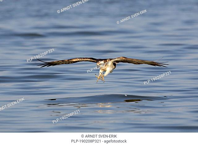 Western osprey (Pandion haliaetus) in flight preparing to catch fish from lake with spread talons (sequence 2 of 2)