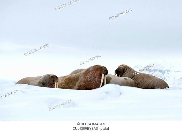 Small group of atlantic walruses (Odobenus rosmarus) on coast, Vibebukta, Austfonna, Nordaustlandet, Svalbard, Norway