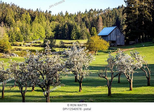 Morning light illuminates apple blossoms on the farm in Ruckle Provincial Park; Salt Spring Island British Columbia, Canada