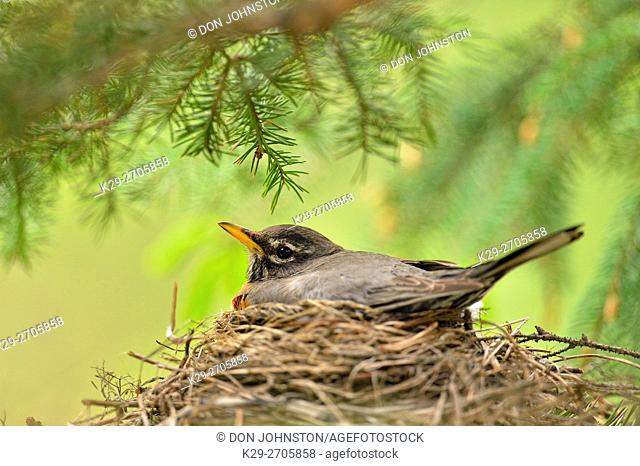 American robin (Turdus migratorius) Adult incubating eggs, Greater Sudbury, Ontario, Canada