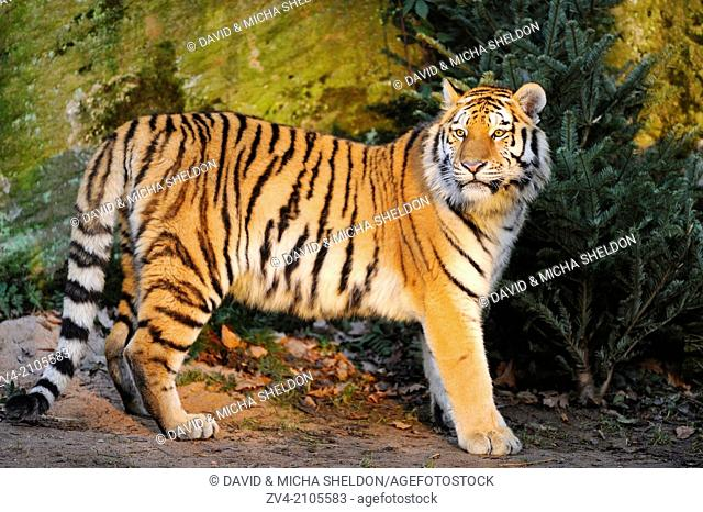 Siberian tiger or Amur tiger (Panthera tigris altaica) in the wilderness by sunset