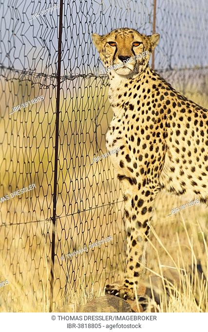 Cheetah (Acinonyx jubatus), female at the fence of her enclosure, captive, Namibia