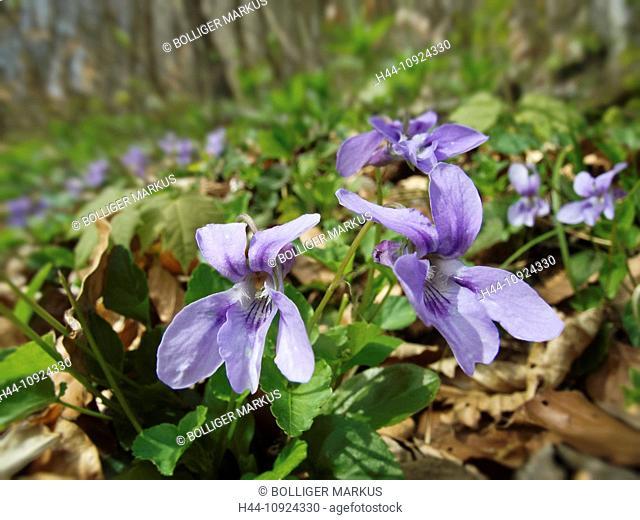 Blue, flower, blossom, flourish, beech forest, canton Solothurn, nature, Oensingen, Switzerland, violet, viola reichenbachiana, wood, forest, forest violet
