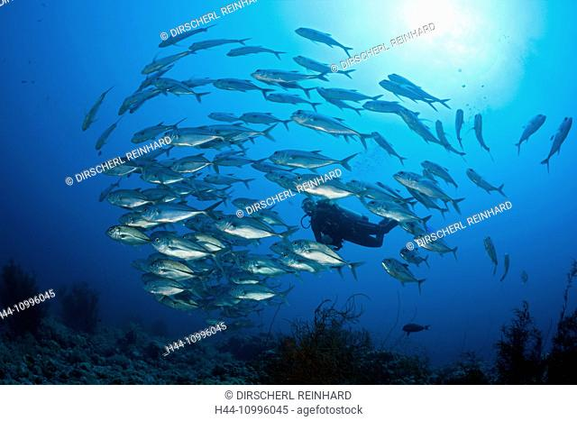 Scuba Diver and Shoal of Bigeye Trevally, Caranx sexfasciatus, Sanganeb, Red Sea, Sudan