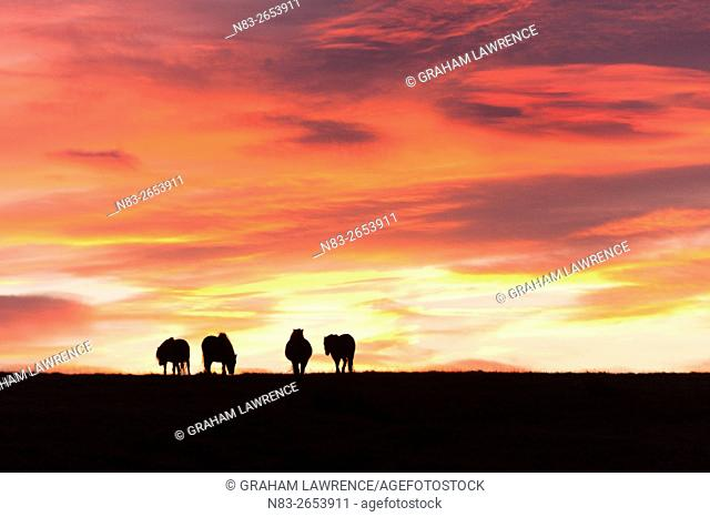Welsh ponies are seen silhouetted against the dawn sky on the Mynydd Epynt high moorland, Powys, Wales, UK