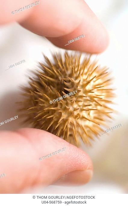 Gently holding a thorny datura seed pod