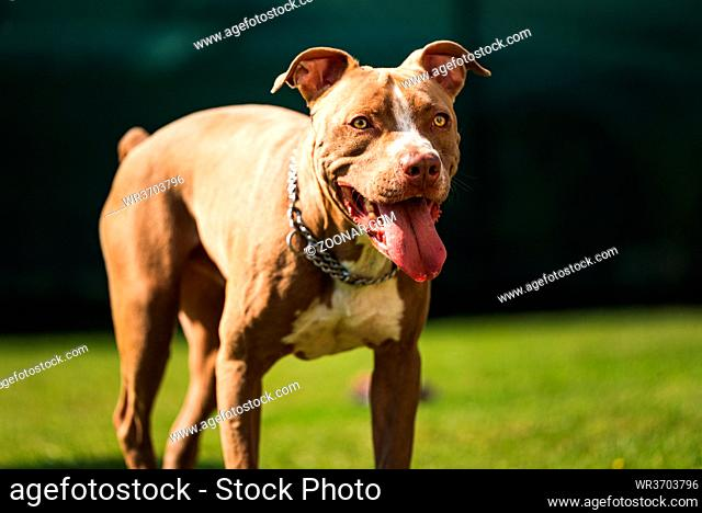 Dog standing in backyard American staffordshire terrier, amstaff, brown stafford pit bull big outdoor with tongue out