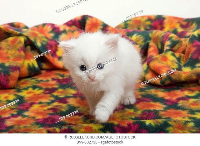 Single 6 Week Old Long Haired White Kitten Sitting Under Blanket
