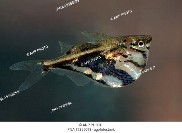 Marbled Hatchetfish Carnegiella Strigata Tamshiyacu Tahuayo Reserve Amazone Loreto Maynas Peru Stock Photo Picture And Rights Managed Image Pic Pna 19355098 Agefotostock