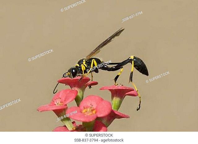 Mud wasp on a Crown of Thorns Euphorbia milii flowers