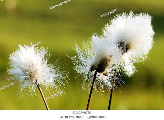 tussock cotton-grass, hare's-tail cottongrass Eriophorum vaginatum, infructescences, Germany