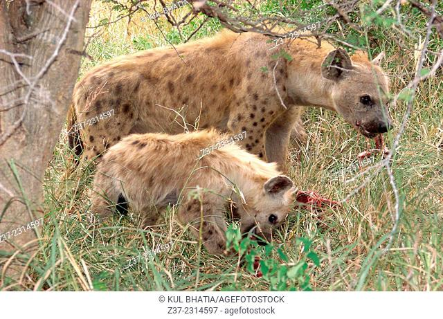 Hyenas' party. A young hyena and mother feed on fresh kill, Kruger National Park, South Africa