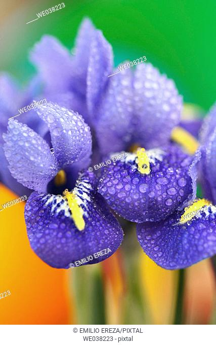 Iris (Iris reticulata)