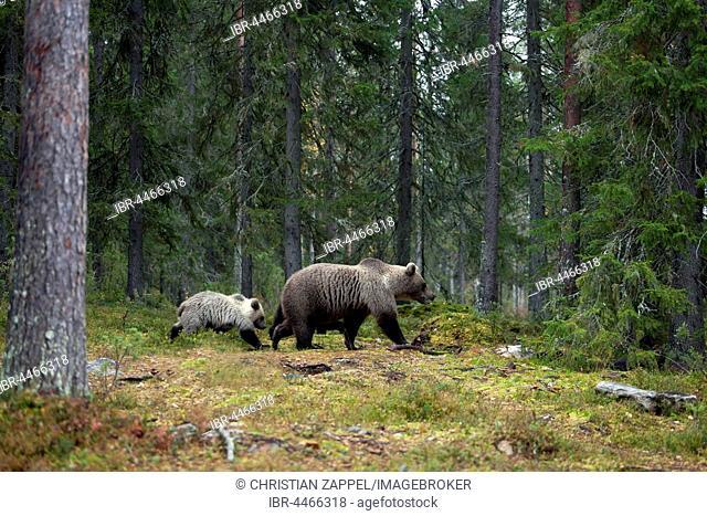 Brown bears (Ursus arctos), mother with cub in forest, Kainuu, North Karelia, Finland