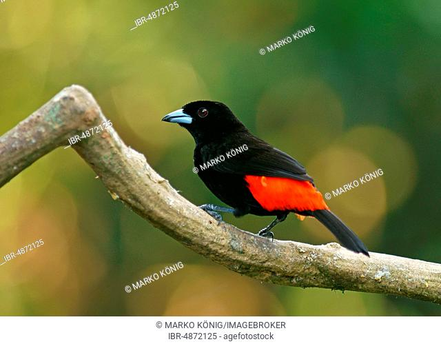 Cherrie's tanager (Ramphocelus costaricensis) sits on branch, Costa Rica