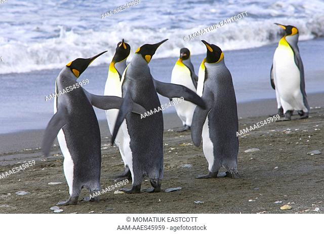 King penguins (Aptenodytes patagonicus) together, interacing, flapping wings, near rookery, fall, St. Andrews Bay; Southern Ocean; Antarctic Convergance; South...