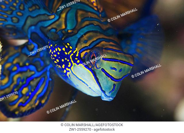 Mandarinfish (Synchiropus splendidus) with ornate markings, Bianca dive site, Lembeh Straits, Sulawesi, Indonesia