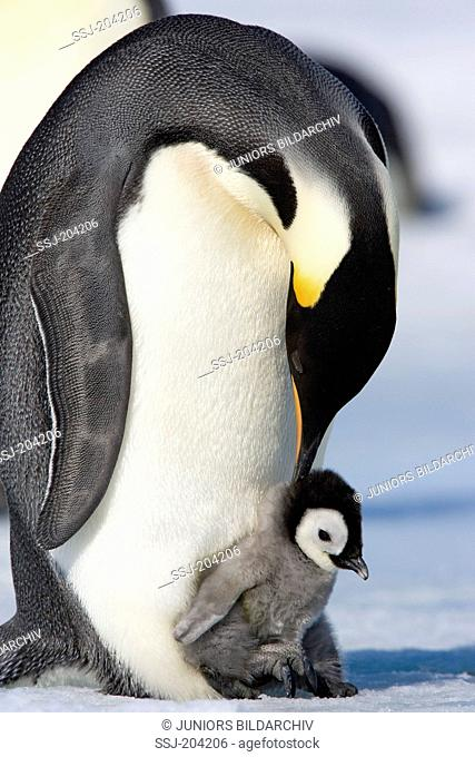 Emperor Penguin (Aptenodytes forsteri). Chick on the feet of a parent bird. Snow Hill Island, Antarctica