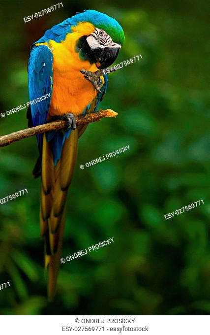 Portrait of blue-and-yellow macaw, Ara ararauna