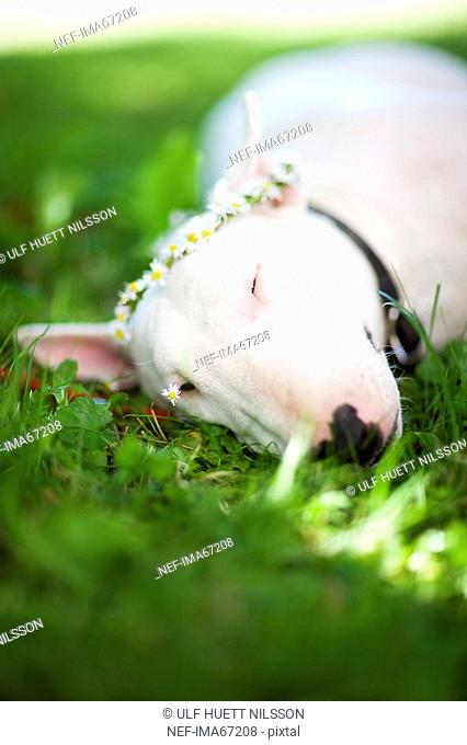 Bull terrier lying in the grass Sweden