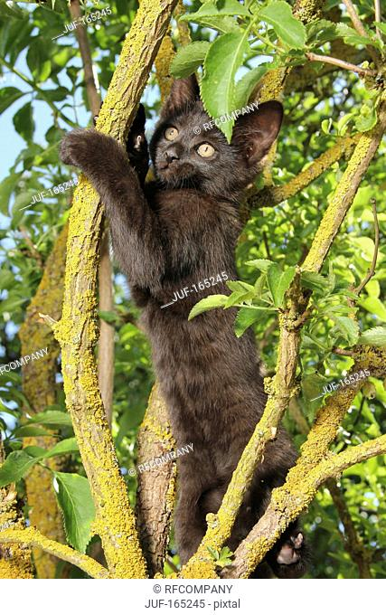 domestic cat - kitten 67 days on tree