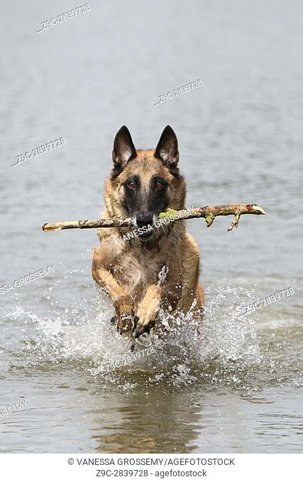 Dog Belgian shepherd Malinois run into the lake with a stick in its mouth